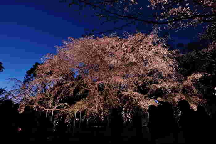 六義園では、夜になると桜のライトアップが施されます。藍色の夜空を背景に、ライトを浴びて淡ピンク色に浮かび上がる枝垂れ桜が融和した風景は幻想的で、日中とは異なる魅力を放っています。
