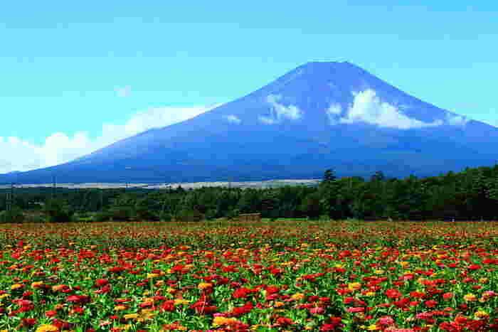 富士山に一番近い湖、山中湖。その湖畔にある、約30万㎡もの広さを誇る公園です。無料エリアでは四季を通して、美しい富士山をバックにした一面の花畑は圧巻です。