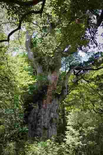 その屋久島の中でも、特に知られているのが「縄文杉」と呼ばれる屋久杉ではないでしょうか。その荘厳な姿は、正に大地のパワーの源です。そんなパワーを感じられたら、辛いことがあっても踏ん張れる力になりそうですね。