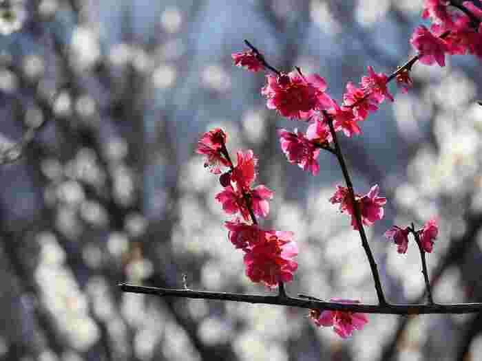 紅梅が270本、白梅が380本の合計650本の梅を楽しむことができます。羽根木公園で行われる「せたがや梅まつり」は2/8~3/1で開催され、箏曲演奏や抹茶野点・茶席など催し物も多く予定されていますよ◎詳しくはぜひリンクをご覧ください。