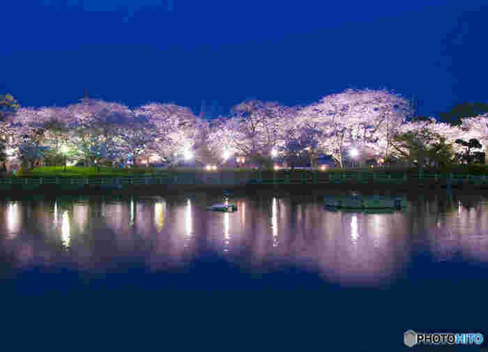 公園内には、ソメイヨシノのほか、国の天然記念物に指定されているオオムラザクラなど約2000本の桜が植栽されています。桜が見頃を迎える時期になると、公園内は淡ピンク色に染まり、ライトアップも施されます。