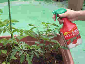 野菜を栽培する上で害虫やウイルスの対策は欠かせません。 トマトが大好きな緑色の小さな虫・アブラムシは、トマトの天敵です。アブラムシがウイルスを媒介し、葉の表面がでこぼこする「トマトモザイク病」はアブラムシが運んでいるもの。また、タバココナジラミは葉の先端が黄色く縮む「黄化葉巻病」などを媒介します。もしも病気になっているのを見つけたら、他の苗にうつらないように株ごと撤去します。