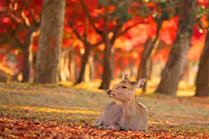 鹿と紅葉、やっぱり絵になりますね。奈良の綺麗な秋の景色と美味しいスイーツを探しに、ちょっと出かけてみませんか?