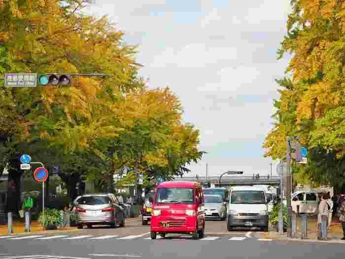横浜スタジアムがある横浜公園から海に向かう「日本大通り」には、両脇にいちょうが並んでいます。例年11月下旬になると美しく黄緑します。