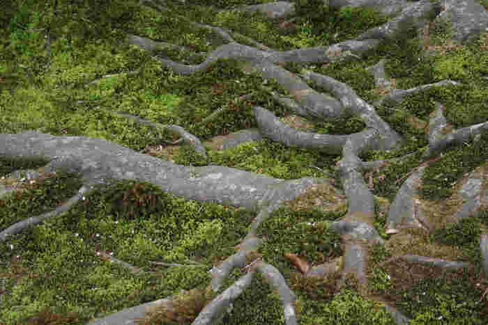 銀閣寺に行ったらぜひ見て欲しいのが、この根っこ。 根っこの周りの苔が、まるで絨毯のよう。