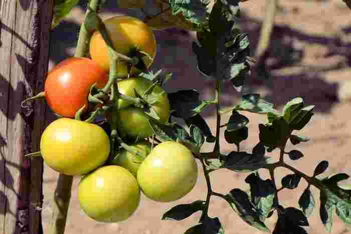 コンパニオンプランツってなに?という方も多いと思います。コンパニオンプランツとは共存作物とも呼ばれるもので、近くで栽培することによってお互いによい影響を与え合うことのできる作物のことです。