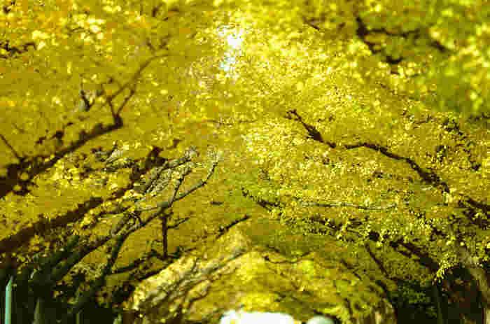 歩道の中は、まるで黄色いトンネルの中を歩いているよう。秋のやわらかな日射しを受けて、清々しい気持ちにさせてくれます。例年、いちょうが色づく11月中旬~12月上旬に合わせて「いちょう祭り」も開催されています。