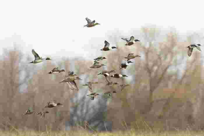 日本特有のジビエといえば、シカ、イノシシが有名ですね。そのほか、野ウサギや山鳩、真鴨、カルガモ、ハクビシンなど、狩猟対象になっている動物も全てジビエになります。驚きですが、あの身近な黒い鳥、カラスも野鳥としてそこに含まれているんですよ。