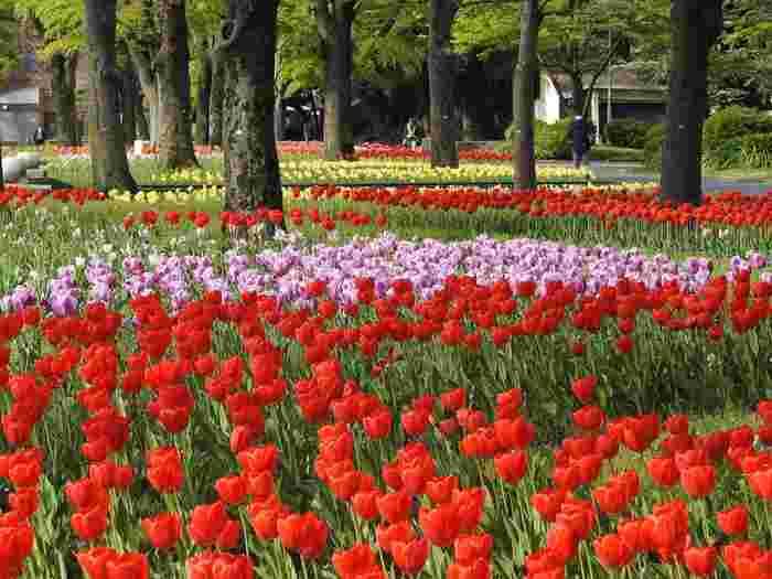 毎年4月中旬から5月頃にかけて、公園内にある花壇には、色とりどりのチューリップが開花し、日比谷公園の春に彩りを与えています。
