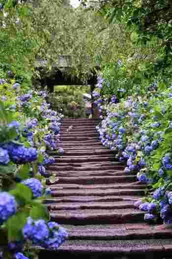 鎌倉の紫陽花人気を長谷寺と二分するのが北鎌倉の「明月院」です。明月院にはヒメアジサイが約2500株植えられており、見頃は毎年6月の上旬から中旬頃となっています。