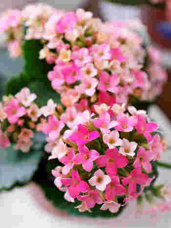 花言葉は、「たくさんの小さな思い出」
