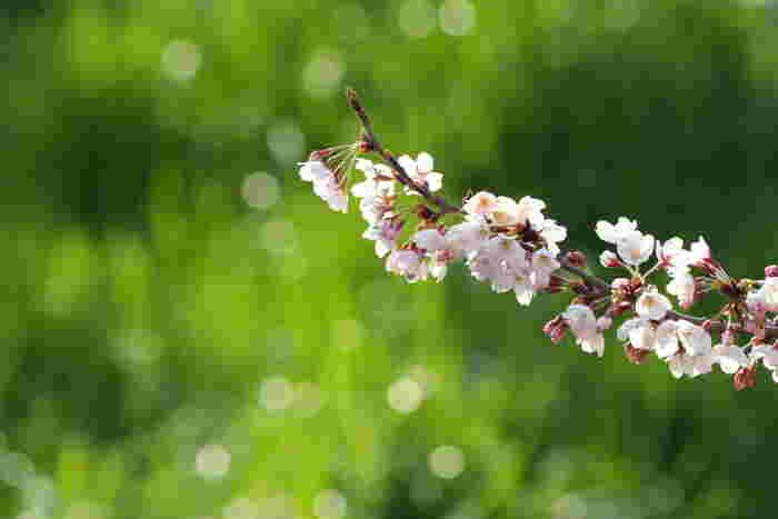 皆さんが気になる桜前線の様子は、開花まで度々更新されているので、気になる方はお弁当レシピと一緒にチェックしてみて下さいね♪