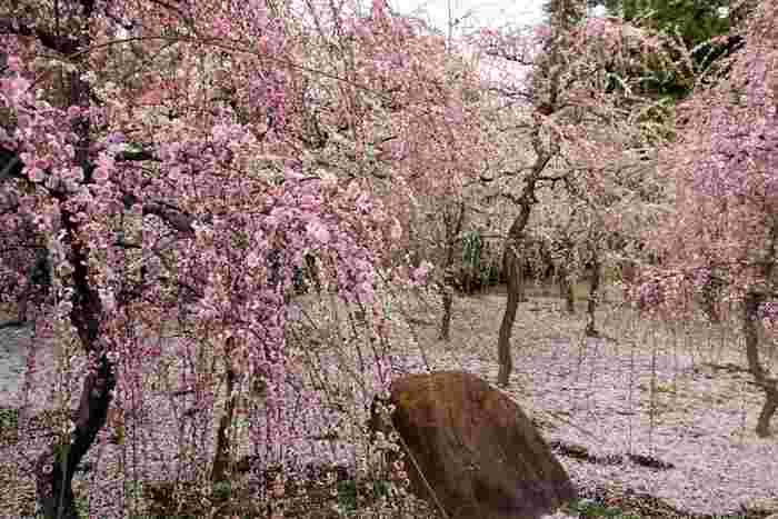 咲き誇る枝垂れ梅の幹の側に立ち、美しく花を咲かせた枝を眺めてみましょう。まるで、降り注ぐ梅の花の雨を浴びているかのような錯覚を感じます。