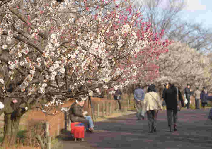 博物館や広場、古民家などゆっくり散策して楽しめる「府中郷土の森」。たくさんの品種の梅が植えられており、見ごろ時期がずれていくので長い期間楽しめます。