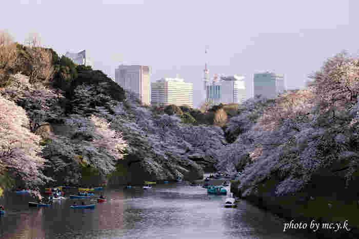 皇居のお堀沿いに伸びる約700メートルの遊歩道、千鳥ヶ淵緑道は、東京都23区内でも有数の桜の名所として知られています。お堀の両岸には約260本の桜が植樹されており、遊覧ボートで桜鑑賞を楽しむことができます。