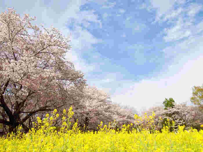 東京都立川市にある「昭和記念公園」はなんと東京ドーム36個分の広さ。桜を中心に植えた「桜の園」をはじめ、園内には1500本もの桜がいたるところに咲きます。見所は何と言っても菜の花とのコラボレーション。