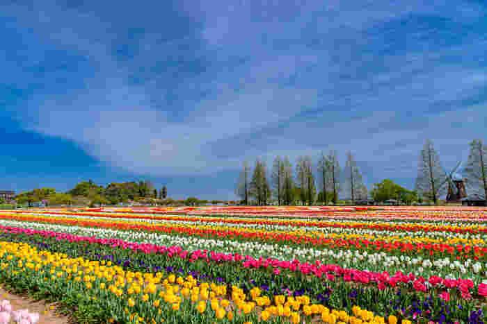 抜けるような青空、広大な風車前広場の花壇、色鮮やかに咲き誇るチューリップが織りなす景色は日本離れしており、ヨーロッパの田園風景を彷彿とさせる趣があります。