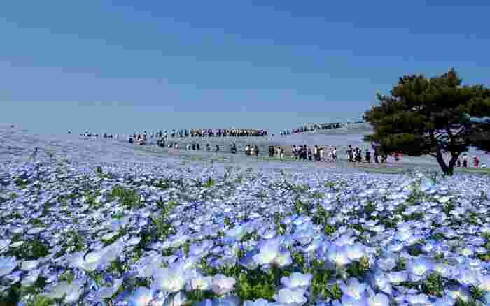 インスタ映えスポットとしても人気が高い「国営ひたち海浜公園」は、ネモフィラやコキアなど、季節ごとに色鮮やかな植物が咲き乱れます。菜の花やチューリップが一面に広がる景色は、まさに絶景です。ただし、夏は日本最大級の音楽フェスROCK IN JAPANが開催されるのでスケジュールを確認しておきましょう。