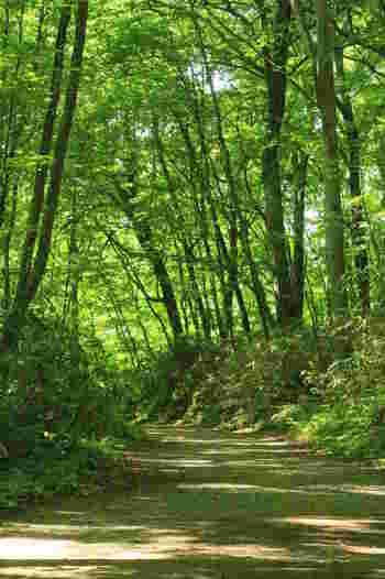 秋田県と青森県にまたがる山岳地帯で、豊かな自然が世界自然遺産に認定されています。 世界遺産に登録される前は「弘西山地(こうせいさんち)」とも呼ばれていました。 広大なブナの原生林が広がり、その恵を受ける沢山の生き物が暮らしています。 白神山地のブナ林は、地質調査の結果、8000年程前から形成されたと考えられており、地球規模で見ても大変貴重なものです。