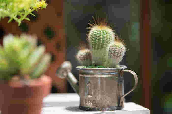 サボテンは乾燥に強い植物ですが、生長期には水をたくさん必要とします。生長が盛んな春と秋は2週間に1回程度、土が乾いていたら鉢底から水が流れるくらいたっぷりと水をあげます。休眠期である真夏と冬の間は3~4週間に1回程度の水やりでOKです。表面の土が乾いていても、中は湿っていることがありますので、割り箸を土にさしてみて、湿っているかどうか調べてみるのも良いでしょう。サボテンは意外と水やりのタイミングが難しい植物です。