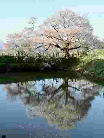 """福岡県久留米市で長年大切にされてきた「浅井の一本桜」。幹周り4.3m、高さ18mの大きなヤマザクラです。樹齢約100年と言われ、池に映る""""逆さ桜""""を見ることができるのも見どころのひとつ。"""