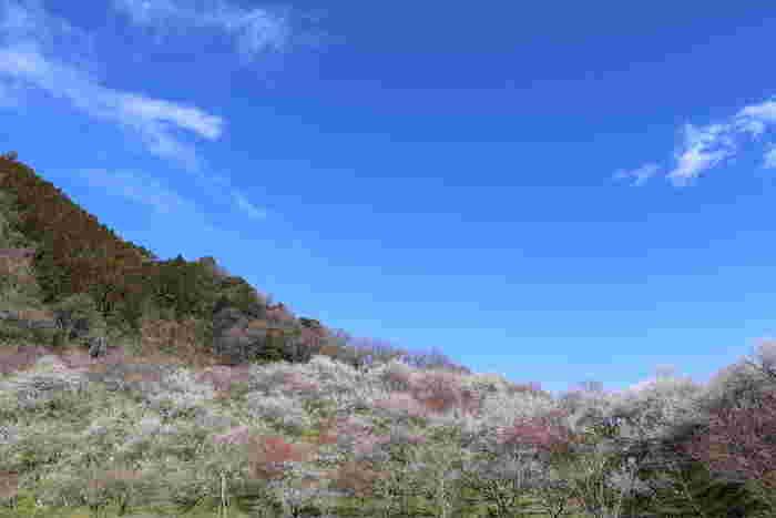高尾梅郷で広がっている景色は壮観です。山肌を覆うように濃淡ピンク色をした梅が開花している様は、私たちが思い描く桃源郷のイメージそのものです。