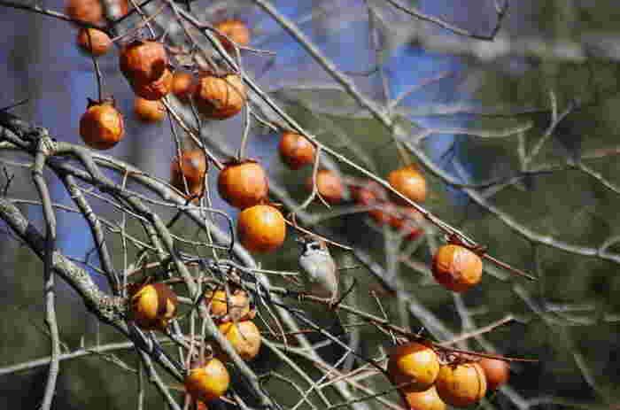 落柿舎という名前の由来には面白いエピソードがあります。もともと、落柿舎には、40本の柿の木がありました。去来は、柿が成ったら、その実を売る契約をしました。ところが、台風がこの地を訪れ、柿の実は一晩の間で全て落ちてしまいました。こうして去来の草庵は、「落柿舎」と呼ばれるようになったと伝えられています。