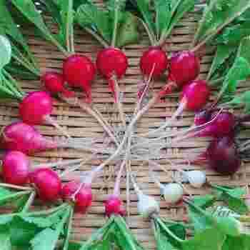 『ラディッシュ』は1ヶ月ほどで収穫できることから、「二十日大根(ハツカダイコン)」とも呼ばれています。  そう、ラディッシュの見た目は「赤カブ」のようですが、実際は大根(正確には、アブラナ科ダイコン属)の仲間なんですよ。  まん丸だけでなく、ちょっと長細かったり、赤ではなく、真っ白、黄色っぽいものも・・!様々な色やカタチがあって、それぞれ個性的で楽しいのもラディッシュの魅力。  ちなみに初心者でも、気軽に育てやすい野菜です。プランター栽培を省スペースで楽しめます。時期は、真夏と真冬以外がおすすめ。