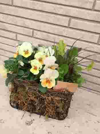 葉野菜だけのプランターではちょっと華がないなと感じたら、季節の花の苗を添えて、愛らしく飾りましょう。春まで楽しめる、パンジーやビオラ、秋なら可憐なコスモスなんかも素敵ですね!