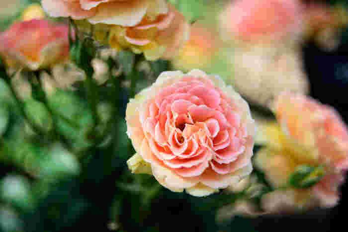 園内には約250品種のバラが1万本植えられており、旬の春と秋にはたくさんの人が訪れます。伊丹で誕生した品種、「天津乙女」や「マダム・ヴィオレ」が植えられているコーナーもあります。また、姉妹都市であるベルギーの商業都市「ハッセルト」にちなんだエリアも人気です。