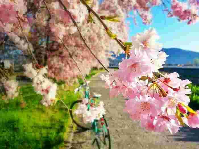 桜の下で盛り上がっちゃおう♪『お花見パーティー』におすすめの【お弁当レシピ16品】