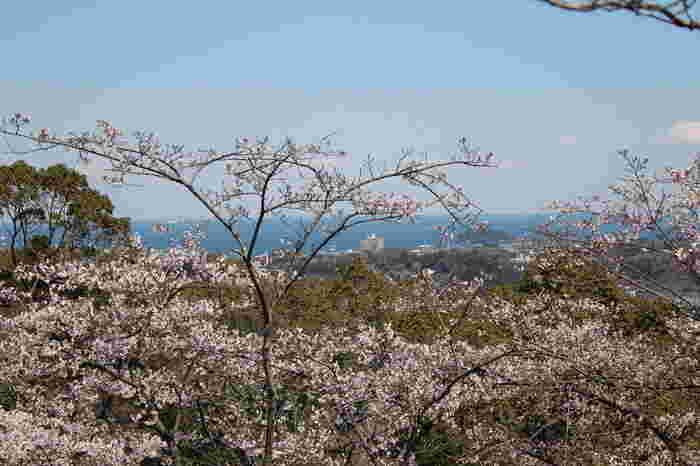 衣笠山公園は1907年に開園した公園で、「日本さくら名所100選」にも選定されている神奈川県でも指折りの桜の名所です。公園内には約2000本の桜が植樹されており、毎年春になると大勢の花見客で賑わいます。