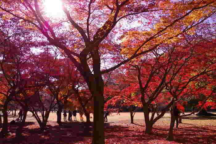新宿御苑駅から徒歩5分と、東京のど真ん中に位置する新宿御苑。国が保有する庭園だけあって、繊細な花鳥風月の美意識が感じられる園内のモミジ山では、燃えるように真っ赤なカエデ類などを楽しむことができます。