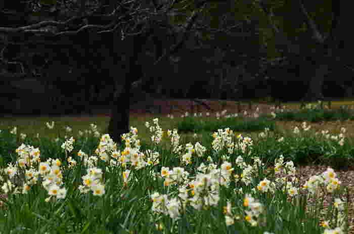 群生して咲く白い水仙は、早春の弱い日差しの中でも明るく春を感じさせてくれます。風に揺れる様子もかわいらしい花ですね。