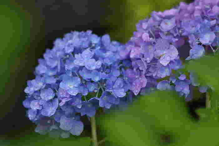 梅雨の風物詩となっている「紫陽花」。ボリュームがあるので、一輪でも部屋の印象をかえてくれますよ。