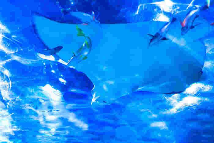 長さ22mある「トンネル水槽」では、来園者の頭上を生き物たちが優雅に泳ぎ回ります。その数はなんと900尾!月・水・金には、水槽の上部から餌をやる様子を見学できる「魚のフィーディングタイム」というイベントがありますよ♪