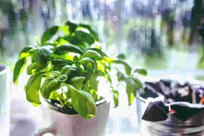 鮮やかな緑の葉が美しいバジル。トマトと合わせてサラダにしたり、たくさん採れたら手作りのジェノベーゼソースも…なんて夢が広がります。