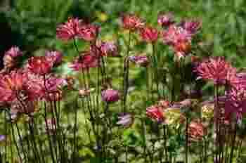 可愛らしく庭に咲く、西洋オダマキの花。