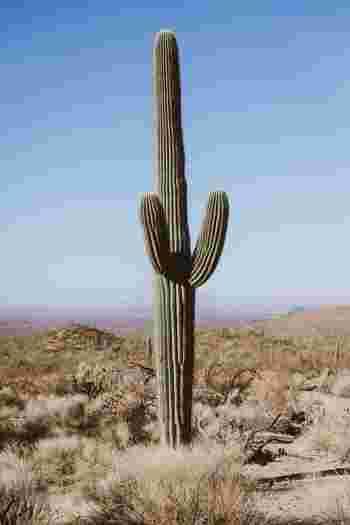 サボテンは、サボテン科・サボテン属に分類される植物。葉・茎・根に水と栄養を蓄えられるのが特徴で、砂漠や乾燥地帯、高山などの過酷な環境でも育つことができます。