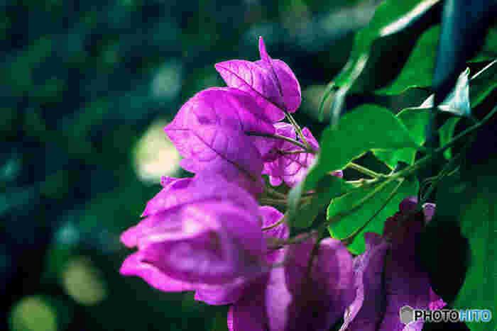 日本では沖縄などの暖かい地域によく咲くブーゲンビリア。花言葉も「情熱」「あなたは魅力に満ちている」「あなたしか見えない」など、ホットな意味合いを持っています。水揚げが悪い花なので、鉢植えで贈るのがベストです。