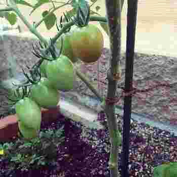 トマトの茎は成長していくにつれて上に伸びていくだけでなく、茎自体も太くなります。ヒモでしばるときは、すこし隙間を残しておくのがポイントです。