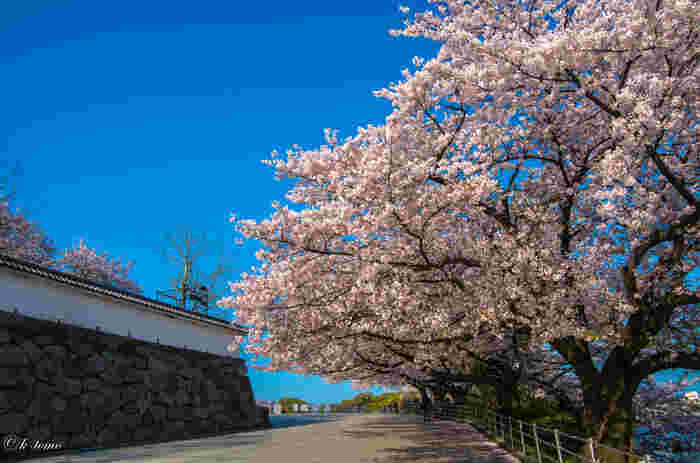 福岡の桜の名所といったら、天神から歩いて15分の場所にある「舞鶴公園」は外せません!約1,000本の桜の木があり、春には多くの人が訪れる桜の名所です。福岡城跡を美しく彩る桜が見られるのは、ここならでは。
