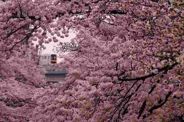 桜が満開に咲き誇る時季の乞田川での景色は壮観です。競うように開花している桜の花々が空を覆いつくしている景色は絶景そのものです。