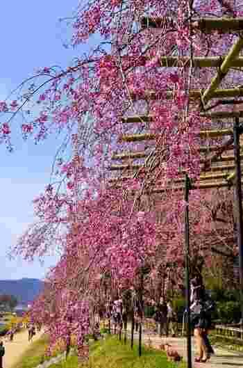左に賀茂川ののどかな流れを見ながら、「北山大橋」まで約0.8キロにわたって続く桜の道が楽しめます。
