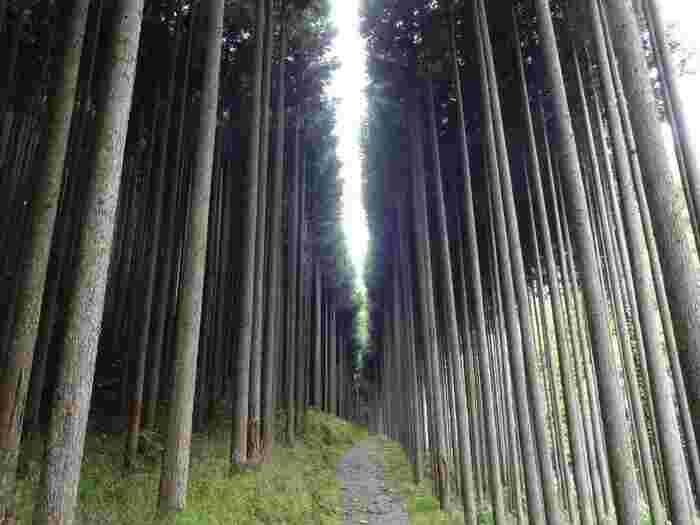 【三尾周辺「東海自然歩道」では、北山杉の美林も楽しめます。北山杉は、床柱で使う良質な杉で、栂尾の先、中川の名産。】