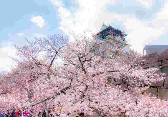 「日本さくら名所100選」として知られている大阪城公園には、春になると大勢の花見客が訪れます。ここにはソメイヨシを中心に約3000本ほどの桜が植栽されており、春の大阪に彩りを与えてくれています。