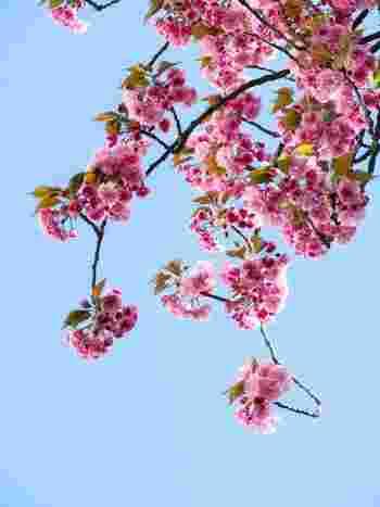 誕生した女の子を祝福し、健やかな成長を願う『上巳の節句』。この時期は桃の花が咲く時期と重なることから、『桃の節句』とも呼ばれています。