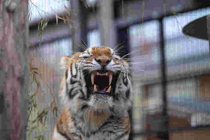 動物園の動物が元気に活動をしている時間は貴重です!活発な時間を事前に調べてみましょう。午前中は、動物たちも起きたばかりだったり、公開場所に移動したばかりで「縄張り確認」のために動き回る動物も多いとか。開園時間すぐに行くのもおすすめです。