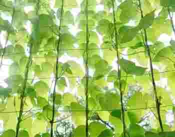 【グリーンカーテン】とはつる性の植物をネットなどを使い窓が隠れるくらい大きく育て広げ、最終的にカーテンのような状態になったもののこと。  代表的な植物としては「ゴーヤ」や「朝顔」が挙げられます。実際に日よけにもなりますし、環境にも優しい暑さ対策なのです。