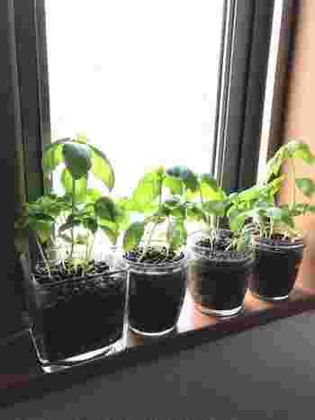 発芽や移し替えのタイミングで、大きいものや根同士が近いものを間引きしましょう。ギュウギュウのまま育てると、栄養をとりあってケンカし、結果育ちにくくなってしまいますよ。